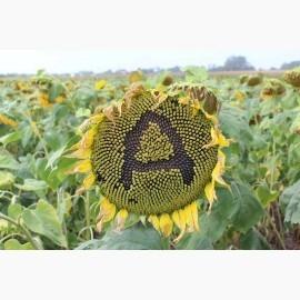 Семена подсолнечника Антей +