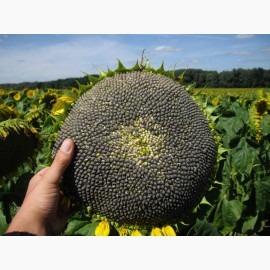 Семена подсолнечника гибрид Рими