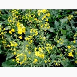 Семена озимого рапса Висби - гибрид от Производителя «Лембке» (Lembke)