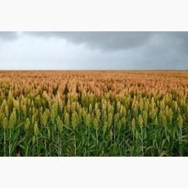 Семена гибрида сорго Silos (Силос) 00D BMR